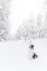 Hugo (keen-eyed) Tags: winter dog snow dogs sweden sheltie sheepdog hund wonderland shetland hundar