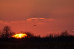 Hen harriers at sunset (David R Owen) Tags: sunset nikon circus sigma national trust hen fen f28 harrier wicken cyaneus 120300 d7100