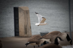 My Tamron 150-600 will be here Monday! (Foose003) Tags: geese nikon pittsburgh seagull northshore