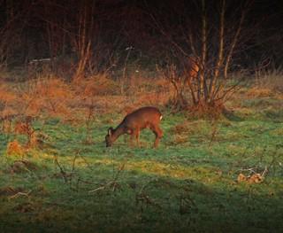 Dalmarnock Deer
