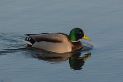 Erpel (Christian_Gerlach) Tags: bird canon tiere duck sigma goose 50500 vögel ente tier vogel gerlach 50500mm 700d gerlachfoto