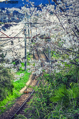 Sakura blossoms, Kyoto, Japan (blueinsky(Leon)) Tags: travel japan kyoto railway cherryblossom sakura