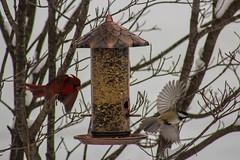 Birds in Flight (Larry Senalik) Tags: winter snow bird animal canon illinois cardinal flight feeder dslr blackcappedchickadee t3i 2015