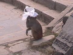 Rhesus Macaque Plastic Bag