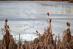 spring thaw (~ Mariana ~) Tags: ab canada park thaw nature nikon cattail calgary hff friends outstandingromanianphotographers marculescueugendreamsoflightportal travelsofhomerodyssey mariana ~mariana~