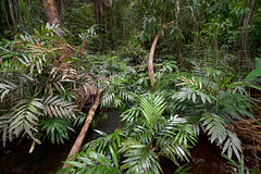 Rainforest Stream Images DSC05416 (MIKOLJI) Tags: wood plant tree green nature palms landscape outdoors bush amazon rainforest stream day natural scenic wideangle growth jungle palmtree environment wilderness botany habitat leafs untouched pure rios climate aquaticplants amazonas clearwater ecosystem freshwater pristine treetrunks tropicalrainforest aguadulce impenetrable biotope atabapo tropicalclimate lushfoliage mikolji ivanmikolji