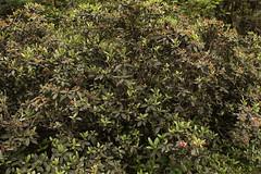 Rhododendron glaucophyllum Rehder (3) (siddarth.machado) Tags: rhododendron northsikkim himalayanflora 3000msl