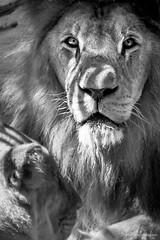 Who's the king? (l.raulino) Tags: lion king animal animais wild wildlife vida selvagem zoo zoolgico parque park teresina pi piau piaui brasil brazil pb preto branco bw black white eyes contrast portrait gender canon 5d 5d3 5dmarkiii hill travel adventure face