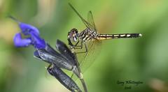 Dragonfly_0418 (Porch Dog) Tags: 2016 garywhittington kentucky nikond750 fx nikon105mm macro backyard home dragonfly bug critter