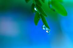 (Abhijit Chendvankar) Tags: rain raindrops monsoon mumbai incredibleindia india nikon nikond5000 tamron tamron90mmf28macro macro