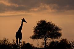 20160717_045 (Joshua Daskin) Tags: wildlife africa canon 60d 100400 southafrica roadtrip animal safari savanna ecology biology kruger national park