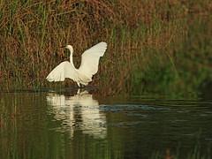 Snowy Egret 06-20160716 (Kenneth Cole Schneider) Tags: florida miramar westbrowardwca