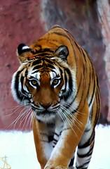 Tiger of Sumatra at Bioparco Roma (al.scuderi71) Tags: tigre tiger sumatra roma flickr italia italy bioparco amazing pictures panasonic panasonicgh4 zoo eye rome foto fotografia photoghraphy animali animals parco park