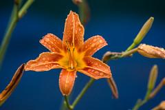 Tiger Lily (Seth J Dewey Photo) Tags: newhampshire nashua flickrphotowalk