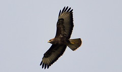 Soaring. (pstone646) Tags: bird raptor nature animal flight sky stodmarsh wings kent wildlife buzzard fauna