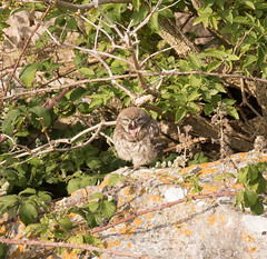 Little Owl (chitsngiggles) Tags: portlandbill nature wildlife owlet littleowl owl