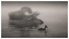 Fog and Buffo with a duck (borowski.peter) Tags: bffel und ente bufallo misty water nebel wasserbffel duck