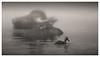 Fog and Buffo with a duck (borowski.peter) Tags: büffel und ente bufallo misty water nebel wasserbüffel duck