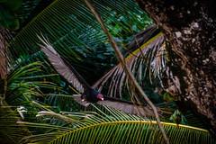 Panama-002 (s4rgon) Tags: animal bastimentos beach bird bocasdeltoro centralamerica geier karibikisland karibikinsel panama stand tier truthahngeier turkeyvulture vogel bastimento pa
