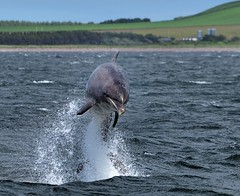 Dolphin Breaching (richbriggs28. Love being a grandad :)) Tags: chanonrypoint richbriggs28 rosemarkie bottlenosedolphin breaching morayfirth fortgeorge blackisle