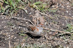 2016 American Tree Sparrow (DrLensCap) Tags: park chicago tree bird robert nature illinois village north center il american sparrow kramer
