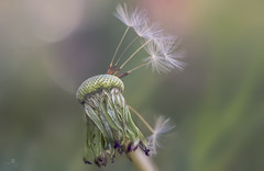 second chances (rockinmonique) Tags: pink macro green canon soft pretty bokeh seed dandelion seedhead ethereal tamron moniquew