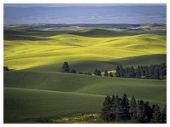 A Band of Canola (explore) (keith_shuley) Tags: canola barley palouse easternwashington washington colors colorful yellow green olympusomdem1