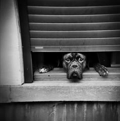 MARATHON PCL 2016 (Coco K...) Tags: marathonphotopcl2016 lille photoclubdelille holga carr noiretblanc blackandwhite argentique chien regard fentre