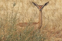 Gacela de Waller (Egg2704) Tags: gacela gacelas gaceladewaller kenia kenya parquenaturalmasáimara masáimara naturaleza animal animales animalia egg2704