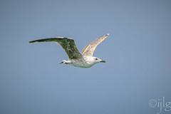 24072016DSC_0238.jpg (Ignacio Javier ( Nacho)) Tags: naturea gaviotas aves facebook flickr faunayflora