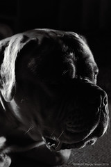 Lurking in the dark .. (Martin Werge Nissen) Tags: canon50mm18 animal bw dog doguedebordeaux flash maximus monochrome offcamera