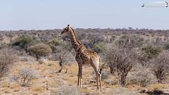 Giraffe (dieLeuchtturms) Tags: 16x9 afrika antilopen antilopinae artiodactyla bovidae dornbuschsavanne dornstrauchsavanne ellipsenwasserbock giraffacamelopardalis giraffe giraffenartige giraffidae horntrger kobus kobusellipsiprymnus mountetjo namibia otjozondjupa paarhufer pecora ruminantia stirnwaffentrger sugetiere vertebrata vertebrates wasserbcke wiederkuer wirbeltiere mammals