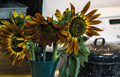 sunflowers in the kitchen (Dotsy McCurly) Tags: sunflowers kitchen pot stove toaster oven bokeh nature beautiful flowers dof nikon d750 nj
