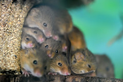 Harvest Mice (Bri_J) Tags: tropicalbutterflyhouse northanston sheffield southyorkshire uk yorkshire nikon d7200 harvestmice micromysminutus mice rodent