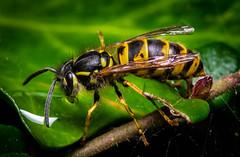 Wasp (hemlockwood1) Tags: wasp macro olympus sting yellow black buzz
