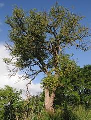 An der Alten Eisenbahnbrcke ber die Treene - Alter Holunder (Sambucus nigra); Norderstapel, Stapelholm (5) (Chironius) Tags: stapelholm norderstapel schleswigholstein deutschland germany allemagne alemania germania    ogie pomie szlezwigholsztyn niemcy pomienie asterids campanuliids kardenartige dipsacales moschuskrautgewchse adoxaceae holunder sambucus baum bume tree trees arbre  rbol arbres  rboles albero  rvore aa boom trd borke rinde ladrido corce corteccia schors  hout bois holz wood legno madera landschaft