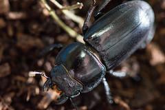 [台北 寵物攝影] 台灣扁鍬形蟲 (cold0328) Tags: 鍬形蟲 甲蟲 獨角仙 母蟲 微距 昆蟲