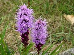 Wild flowers (ninestad) Tags: galicia corua costa acantilado espaa sony dschx60v cantbrico noroeste silvestre