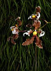 Cyrtochilum zebrinum species orchid 7-16 (nolehace) Tags: cyrtochilum zebrinum species orchid 716 summer nolehace sanfrancisco fz1000 flower plant bloom