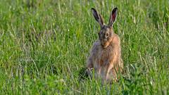 Shy hare - Verlegen haas (Joke.Benschop) Tags: haas hare jokebenschop nikonafs80400mmf4556gedvr nikond7100 shy shyhare verlegen verlegenhaas wwwjokebenschopcom