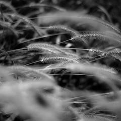 Marshland Grasses 036 (noahbw) Tags: d5000 dof middleforksavanna nikon abstract blackwhite blackandwhite blur bw depthoffield grass marshland monochrome natural noahbw prairie square summer wetlands