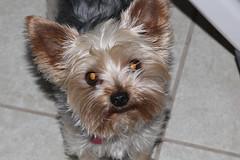 Pepper (twm1340) Tags: fortworth tx texas dog yorkie yorkshire terrier
