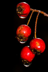 Hawthorn Berries (Boba Fett3) Tags: berries haw hawthorn rain red autumn closeup upclose macro