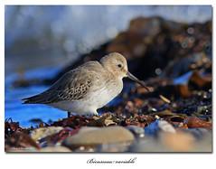 Bcasseau variable/ Dunlin  153A8056 (salmo52) Tags: oiseaux birds salmo52 alaincharette bcasseauvariable dunlin stsimondebonaventure calidrisalpina limicoles shorebirds