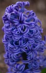 Hyacinth (K.G.Hawes) Tags: meadowlarkbotanicalgardens botanicalgarden flora flower flowers garden plant plants purple hyacinth blue