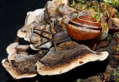 Speedy on Bracket Fungi (Sybalan,) Tags: macro tuition workshop fungi mosses flowers snail fun nature gastropod scotland garden strip studio lighting indoors naturewildlife plants lichen