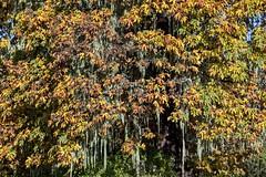 Big-leaf Maple / Methuselah's Beard Lichen (David Badke) Tags: duncan bc plant tree lichen
