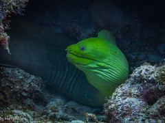It's Not Easy Being Green (HarryMiller002) Tags: green moray eel cayman caribbean scuba diving underwater nature