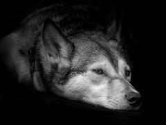 silence (d@neumi) Tags: dog siberian husky siberianhusky hund tier animal black white monochrome monochrom uni blackwhite bw panasonic lumix g7 mono