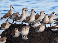 Curlew sandpipers, red knots and red-necked stints (Hone Morihana) Tags: westerntreatmentplant shorebirds migratorybirds curlew sandpiper